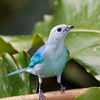 Blue-gray Tanager, Thraupis episcopus, in Costa Rica.