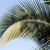 Patterns in Palm leaves of Coconut trees in tropical gardens at the Sarapiqui Neotropic center, northeastern Costa Rica.