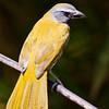 Buff-throated Saltator, Saltator maximus, in Costa Rica.