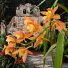 Dendrobium Orchids at Lankester Botanical Gardens, Cartago, Costa Rica.