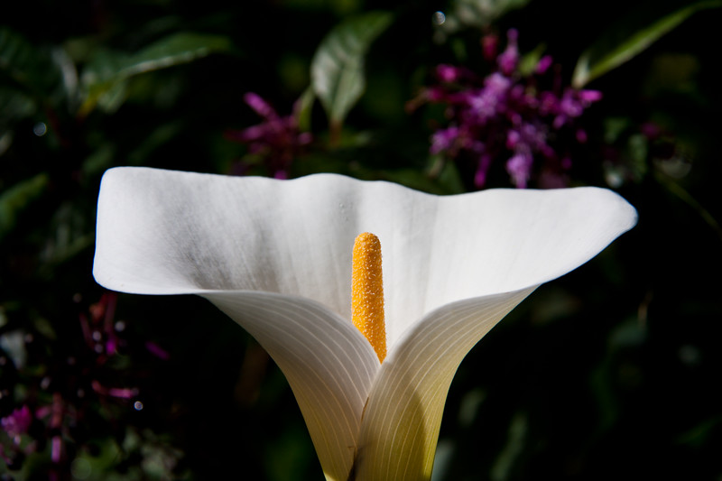 Calla Lily in the gardens at Savegre Mountain Lodge in the Tamalanca Mountains in Costa Rica.