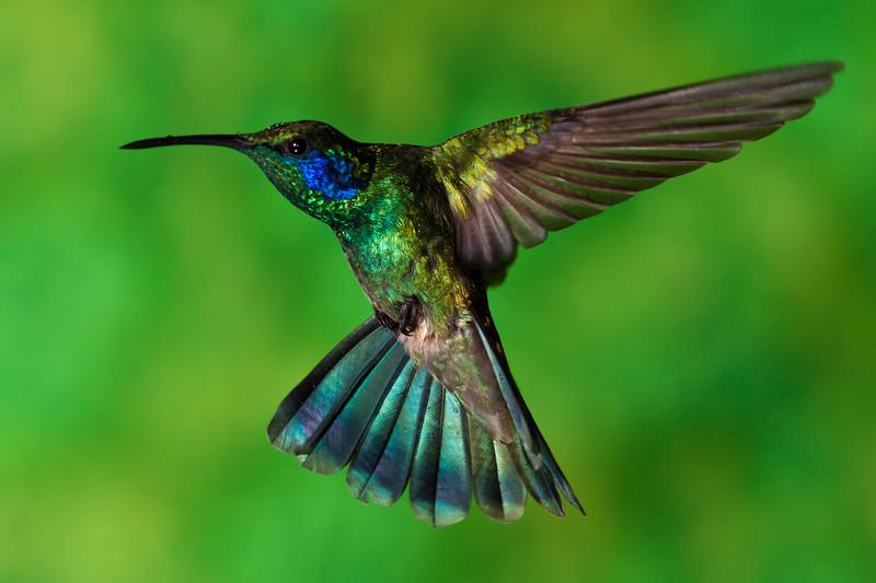 Green Violet-ear hummingbird, Colibri thalassinus, at the Savegre Mountain Lodge in Costa Rica.