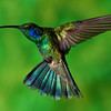 Green Violet-ear hummingbird, Colibri thalassinus, at the Savegre Mountain Lodge in Costa Rica.