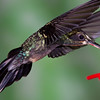 Green Hermit hummingbird, Phaethornis guy, at Rancho Naturalista in Costa Rica.
