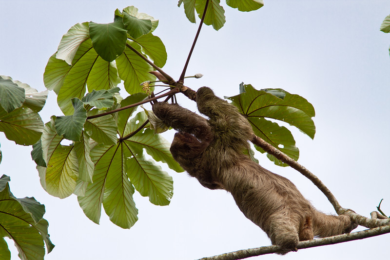 Three-toed Sloth (genus Bradypus) in Cecropia Tree in Costa Rica.