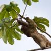 Three-toed Sloth (genus Bradypus) in Cecropia Tree in Costa Rica.