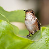 Scintillant Hummingbird, Selasphorus scintilla, at Savegre Mountain Lodge in Costa Rica.
