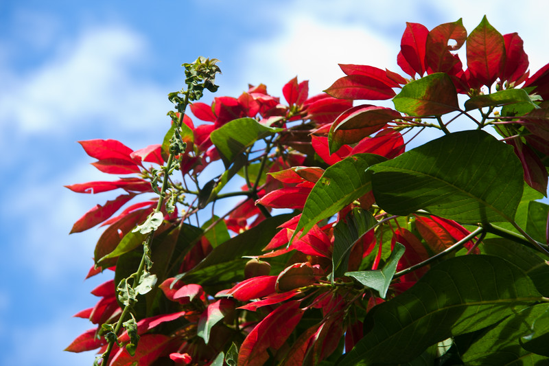 Poinsetta tree in bloom at Rancho Naturalista in Costa Rica.
