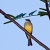 Tropical Kingbird, Tyrannus melancholicus, a large tyrant flycatcher, in Costa Rica.