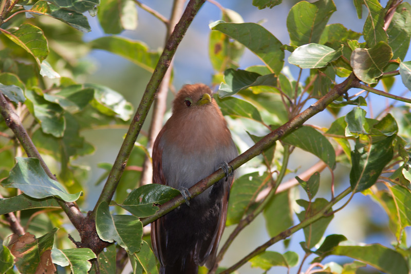 Squirrel Cuckoo, Piaya cayana, in gardens at Bougainvillea Hotel in San Jose, Costa Rica.