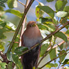 Squirrel Cuckoo, Piaya cayana, in gardens at Bougainvillea Hotel in San Jose, Costa Rica.