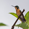 Female Gray-tailed Mountain-gem, Lampornis cinereicauda, is a hummingbird which breeds only in the mountains of southern Costa Rica.