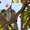 Sloth in Cecropia tree top at InBio biodiversity educational institute in Costa Rica.