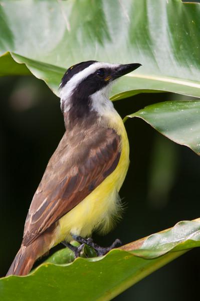 Great Kiskadee, Pitangus sulphuratus, a large tyrant flycatcher, in Costa Rica.