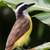 Great Kiskadee, Pitangus sulphuratus, a large tyrant flycatcher, in Costa Rica.