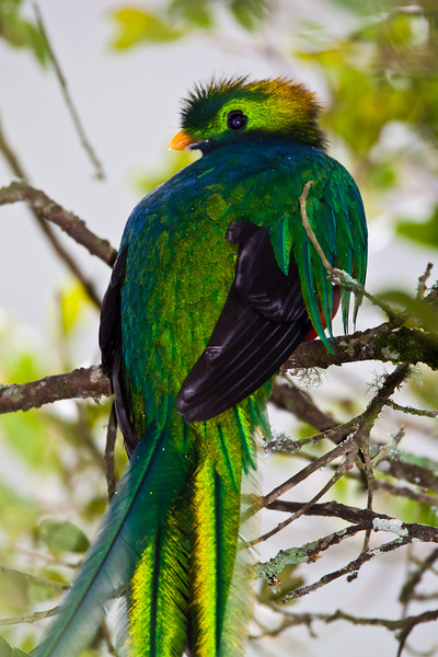 Resplendent Quetzal, Pharomachrus mocinno, at the Savegre Mountain Lodge in Costa Rica.
