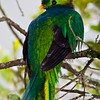 Resplendent Quetzal, Pharomachrus mocinno, at the Savegre Mountain Lodge in Costa Rica.