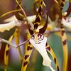Brassia Orchid, Brassia orcuigera, at the Lankester Botanical Gardens, Cartago, Costa Rica.