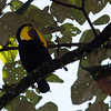 Chestnut-mandibled Toucan, Ramphastos swainsonii, in Costa Rica.