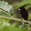 Passerini's Tanager, Ramphocelus passerinii, in Costa Rica.