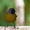 Large-footed Finch, Pezopetes capitalis, in in the Tamalanca Mountains in Costa Rica.