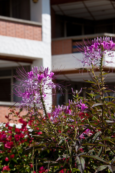 Cleome flowers welcome guests to Bougainvillea Hotel in San Jose, Costa Rica.