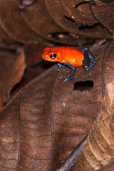 Strawberry poison-dart frog, Oophaga pumilio, at Danaus Nature Center in Costa Rica.