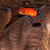 Strawberry poison-dart frog, Oophaga pumilio, at Danaus Nature Center in Costa Rica.
