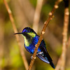 Violet-crowned Woodnymph hummingbird, Thalurania colombica, at Rancho Naturalista in Costa Rica.