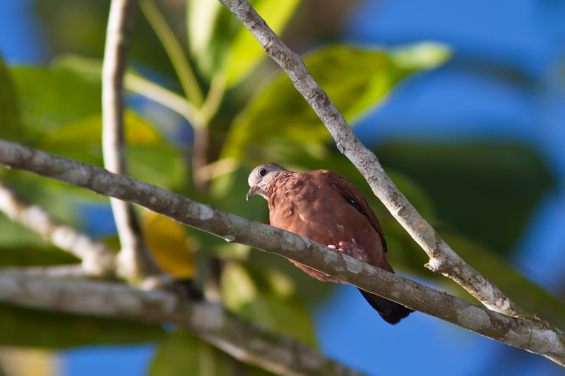 Ruddy Ground-Dove, Columbina talpacoti, in Costa Rica.