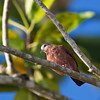 Ruddy Ground-Dove, Columbina talpacoti, in Costa Rica.