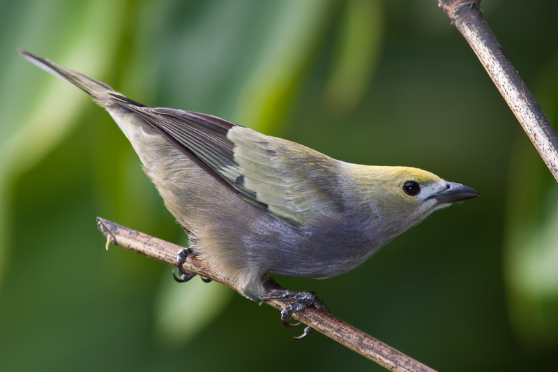 Palm Tanager, Thraupis palmarum, in Costa Rica.