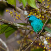 Blue Dacnis, Dacnis cayana, at the Sarapiqui Neotropical Center in Costa Rica.