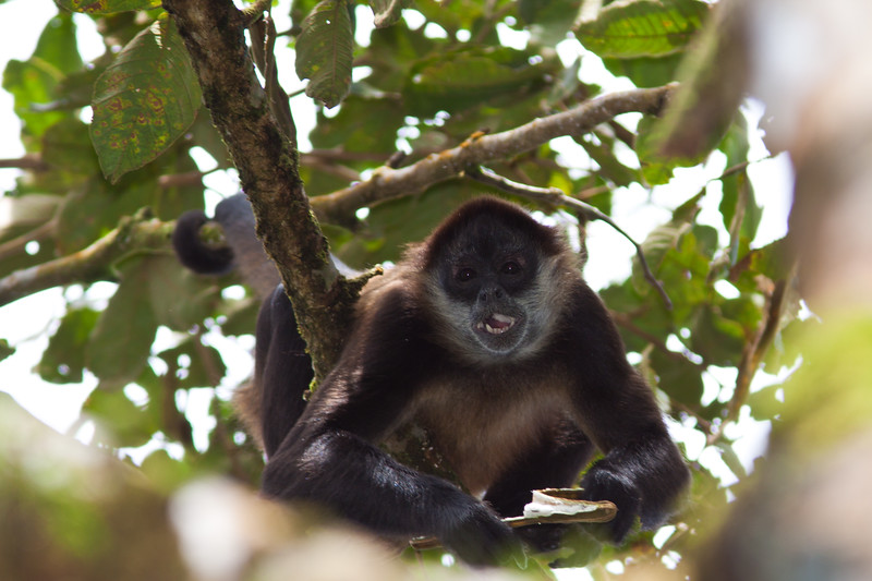 Spider Monkey, Ateles geoffroyi, at the Arenal Observatory Lodge, near Fortuna, Costa Rica.