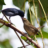 Slaty Flowerpiercer, Diglossa plumbea, at Savegre Mountain Lodge in Costa Rica, parent feeding juvenlie.