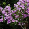 Flowering Bougainvillea bush, Bougainvillea spectabilis, in the tropical gardens at Arenal Observatory Lodge near Fortuna, Costa Rica.