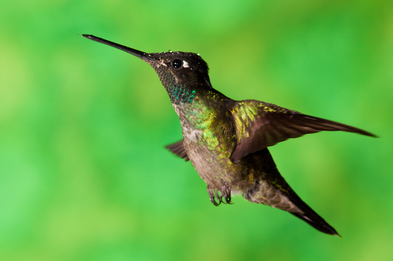 Magnificent Hummingbird, Eugenes fulgens, at Savegre Mountain Lodge in Costa Rica.