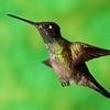 Magnificent Hummingbird, Eugenes fulgens, at Savegre Mountain Lodge in Costa Rica.