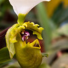 Lady's Slipper Orchid, Paphiopedilum spicerianum, at Lankester Gardens in Costa Rica.