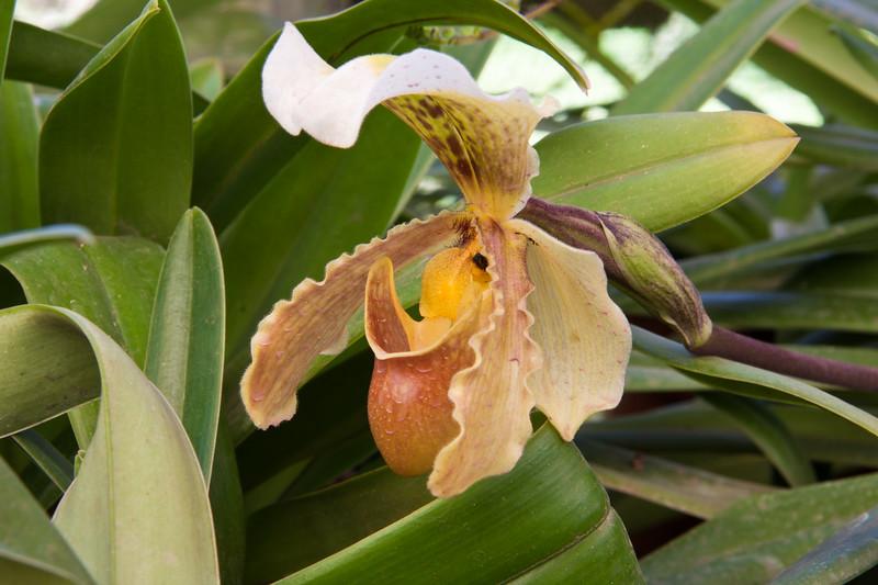 Ladyslipper (Paphiopedilum) Orchid, Paphiopedilum gratrixianum, at Lankester Gardens, Cartago, Costa Rica.