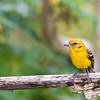 Female Flame-colored Tanager, Piranga bidentata, in the Tamalanca Mountains in Costa Rica.
