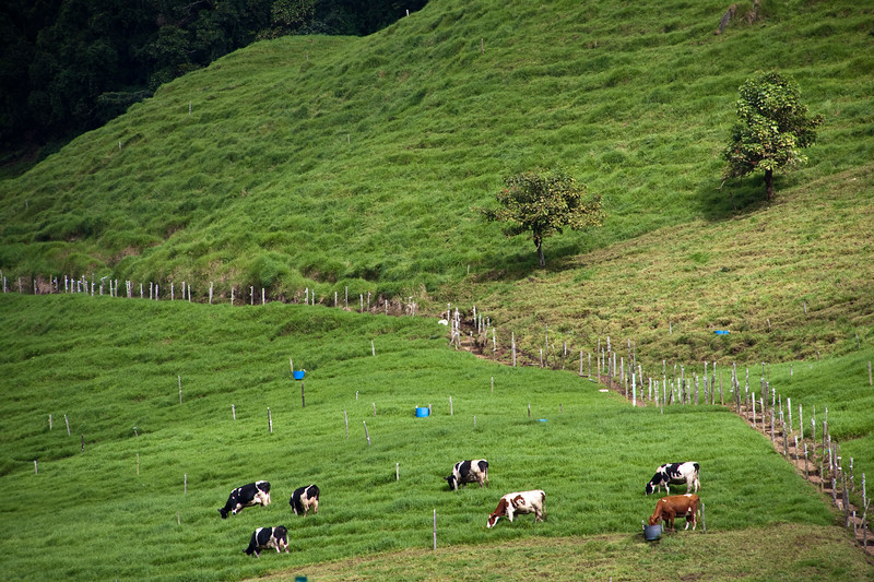 Cows on Mountainside in Costa Rica highlands.