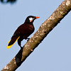 Chestnut-headed Oropendola, Psarocolius wagleri, at Rancho Naturalista in Costa Rica.