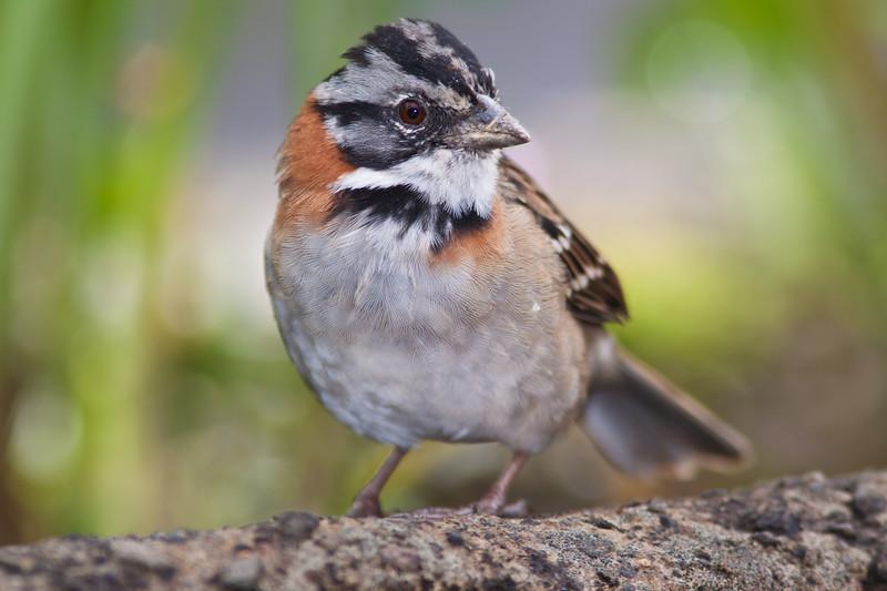Rufus-collared Sparrow, Zonotrichia capensis, in the Tamalanca Mountains in Costa Rica.