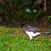 Brown Jay, Cyanocorax morio, at Rancho Naturalista in Costa Rica.
