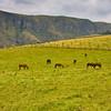 Horses grazing in the Antisana Reserve in Ecuador.