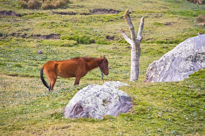 Horse at the Antisana Hacienda in Ecuador.