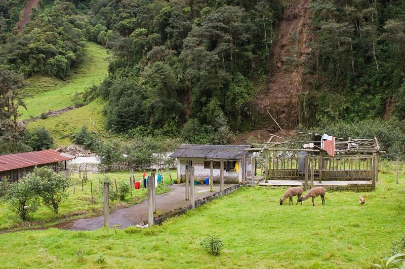 Llamas on rural homestead in Ecuador
