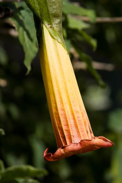Angel Trumpet flower in Ecuador.