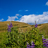 Lupines (bluebonnets) in Andes Mountains in Ecuador